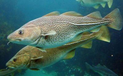 Curiositats i propietats del bacallà