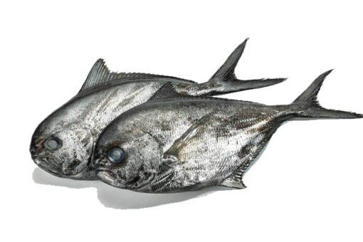 palometa fresca pescado calidad