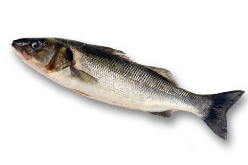 Llobarro salvatge fresc mar mediterrani peixos