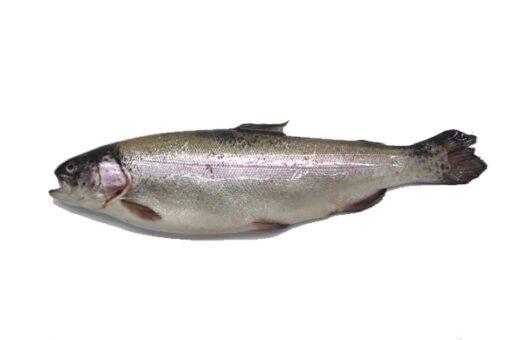 truita salvatge rius mar fresca salmonada