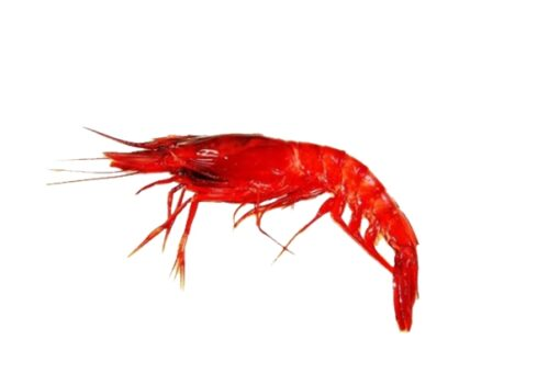 gamba vermella fresca petita marisc qualitat