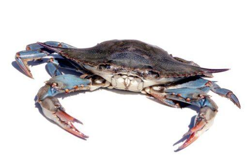 cangrejo azul, cranc blau del Delta especie invasora